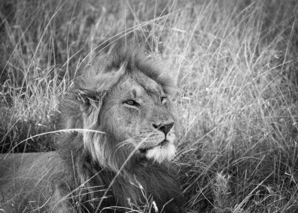 Hannløve i Masai Mara II, fotokunst veggbilde / plakat av Erling Maartmann-Moe