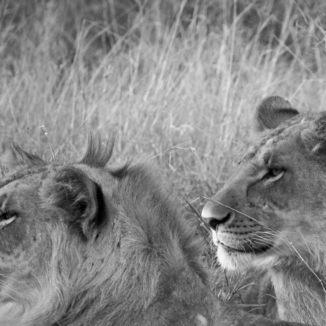 Unge løver i Masai Mara, fotokunst veggbilde / plakat av Erling Maartmann-Moe