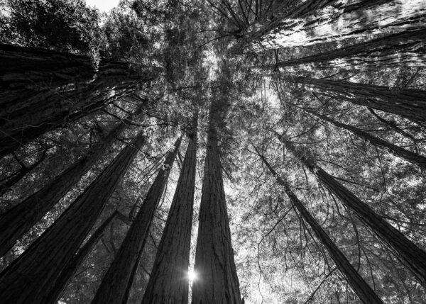 Redwood-trær, fotokunst veggbilde / plakat av Erling Maartmann-Moe