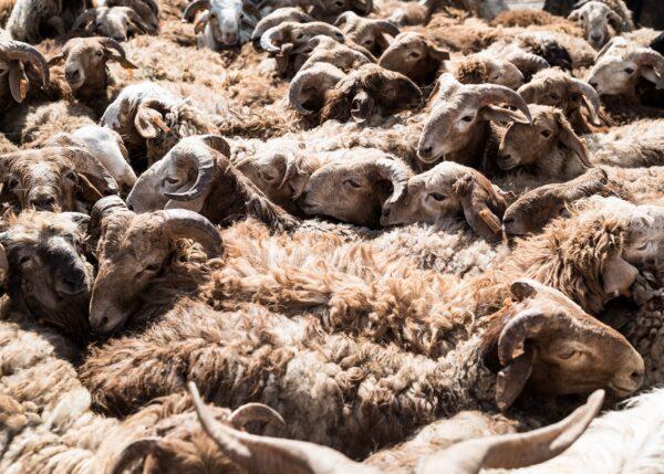 Sauer på markedet i Kashgar, fotokunst veggbilde / plakat av Erling Maartmann-Moe