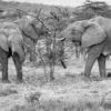 Eleantfamilie på savannen, fotokunst veggbilde / plakat av Erling Maartmann-Moe
