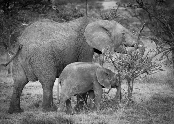 Elefantfamilie - mor og barn - på savannen i Masai Mara, fotokunst veggbilde / plakat av Erling Maartmann-Moe