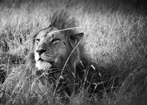 Hannløve på savannen II, fotokunst veggbilde / plakat av Erling Maartmann-Moe