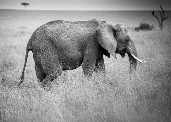Elefant i Masai Mara, fotokunst veggbilde / plakat av Erling Maartmann-Moe