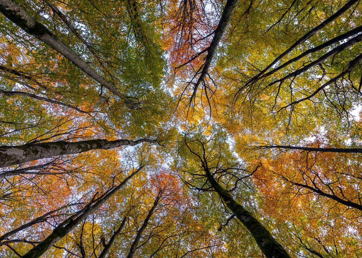 Vend blikket oppover i bøkeskogen., fotokunst veggbilde / plakat av Eirik Sørstrømmen