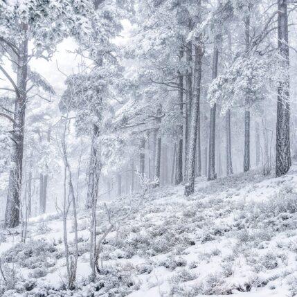 Frossen Skog av Gunnar Kopperud