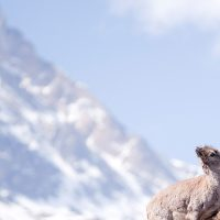 Blue sheep Nepal av Henning Mella