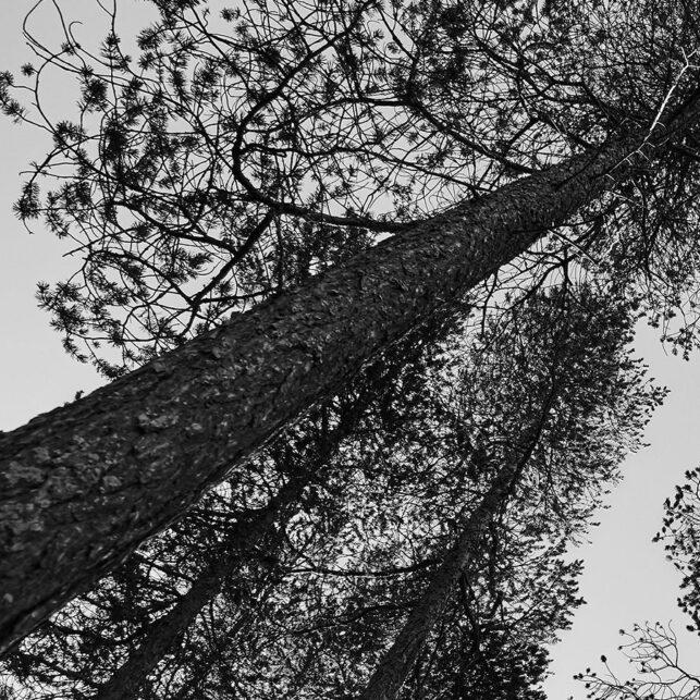 Femundskogen i sort-hvit, fotokunst veggbilde / plakat av Henning Mella