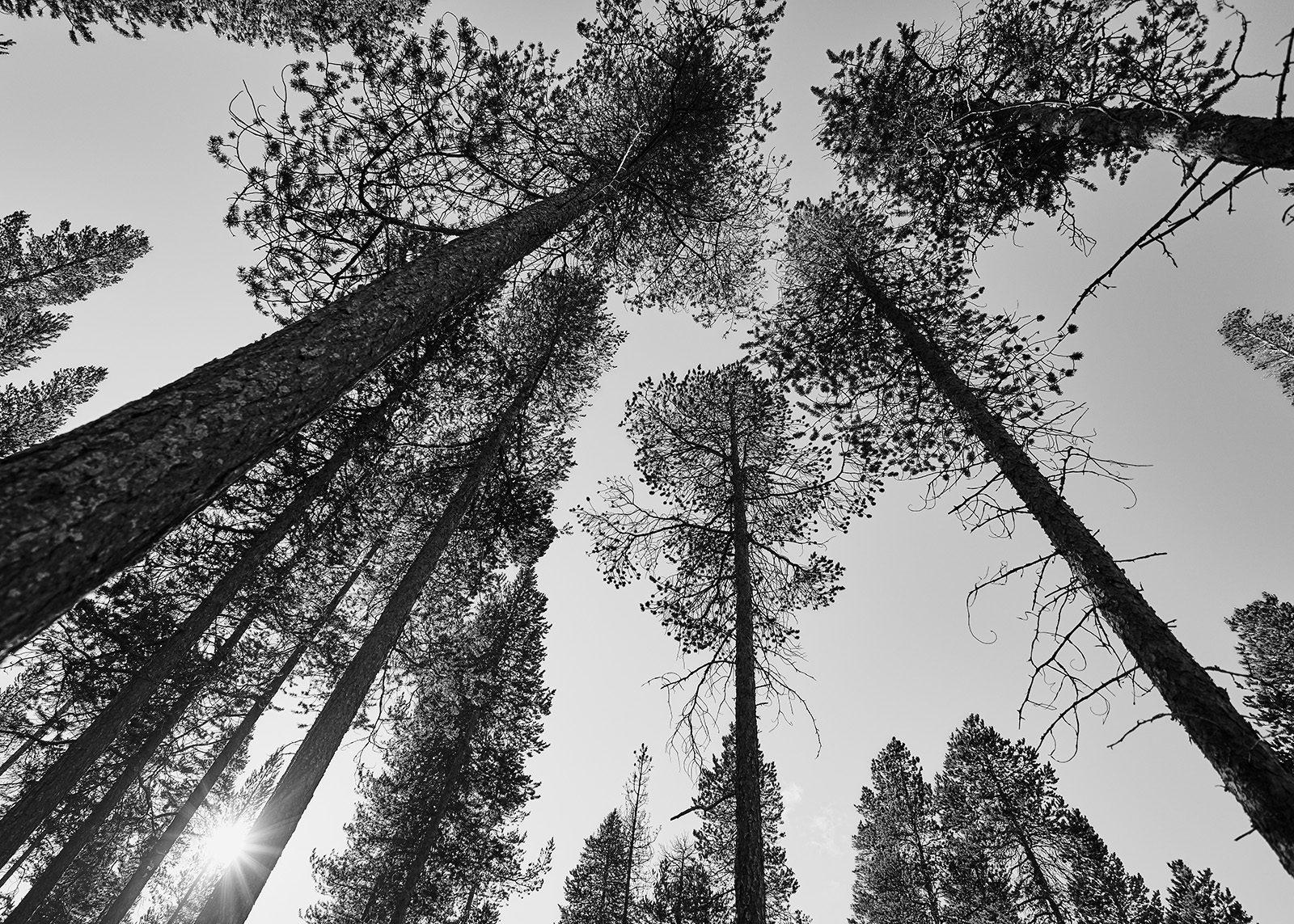 Femundskogen sort-hvit av Henning Mella