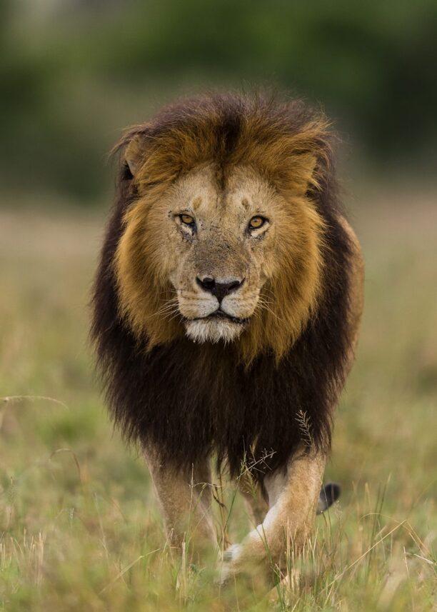 Løve, fotokunst veggbilde / plakat av Kåre Johansen