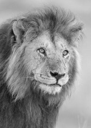 Portrett løve, fotokunst veggbilde / plakat av Kåre Johansen