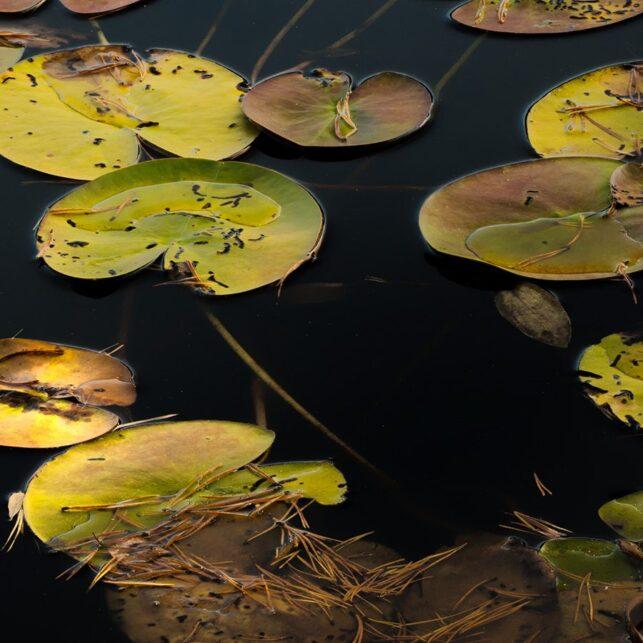 Vannliljer høstfarger, fotokunst veggbilde / plakat av Kåre Johansen