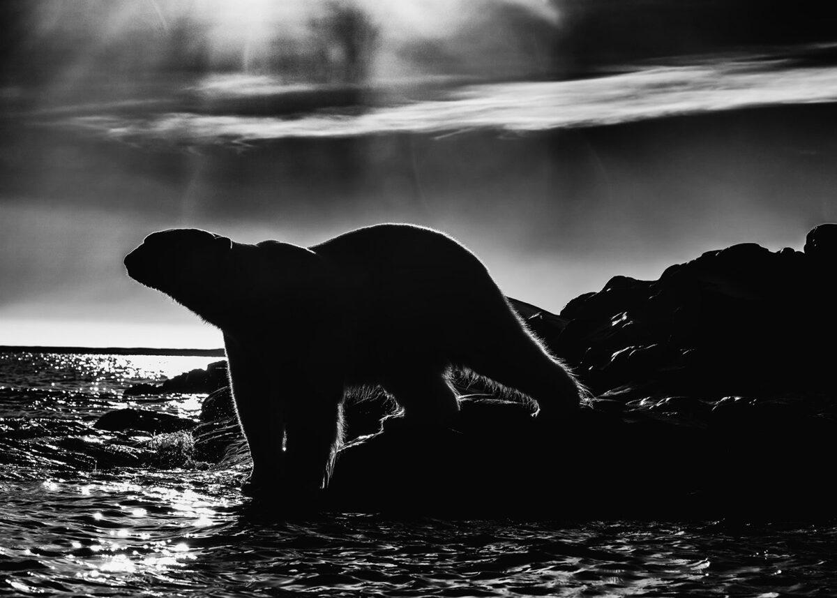 Isbjørn motlys av Kåre Johansen