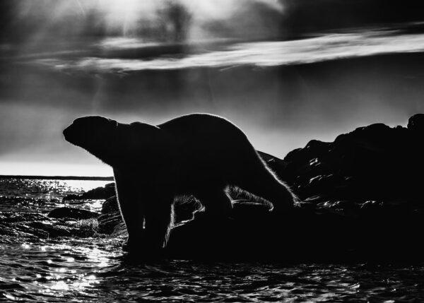 Isbjørn motlys, fotokunst veggbilde / plakat av Kåre Johansen