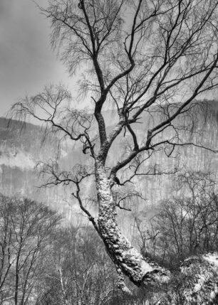 Vinterbjørk, fotokunst veggbilde / plakat av Kåre Johansen