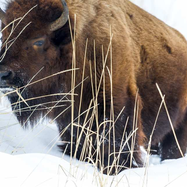 Bison på vinterbeite, fotokunst veggbilde / plakat av Kåre Johansen