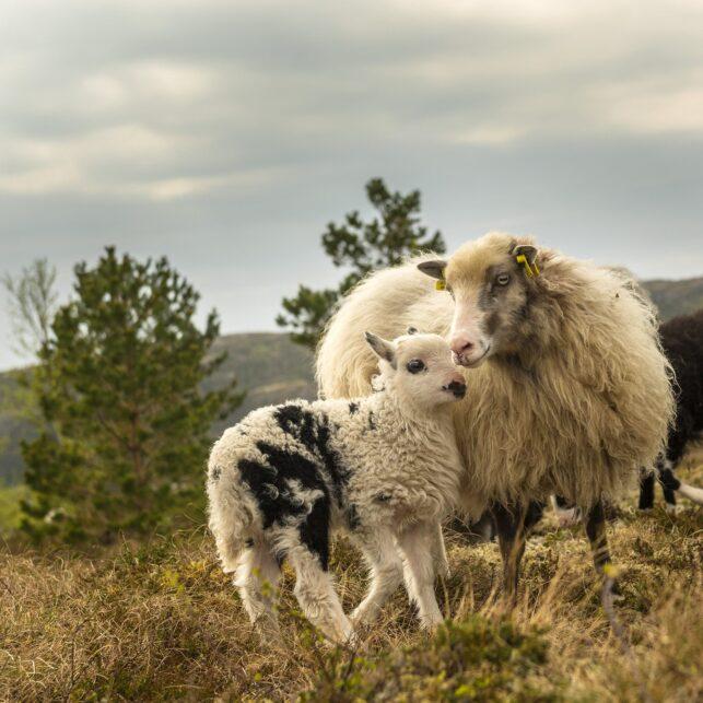Villsau av Kåre Johansen