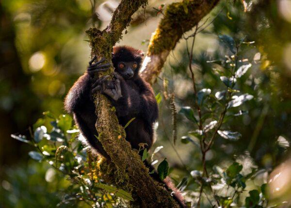 Sort Indri lemur, fotokunst veggbilde / plakat av Kåre Johansen
