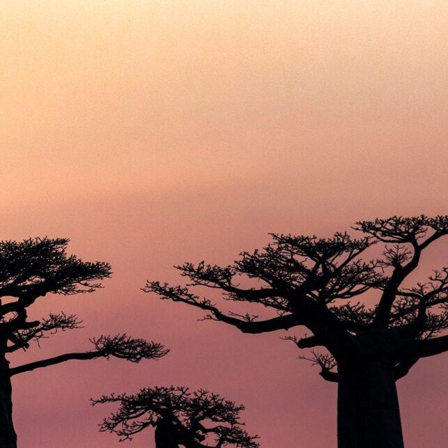 Solnedgang i baobab-avenyen, fotokunst veggbilde / plakat av Kåre Johansen