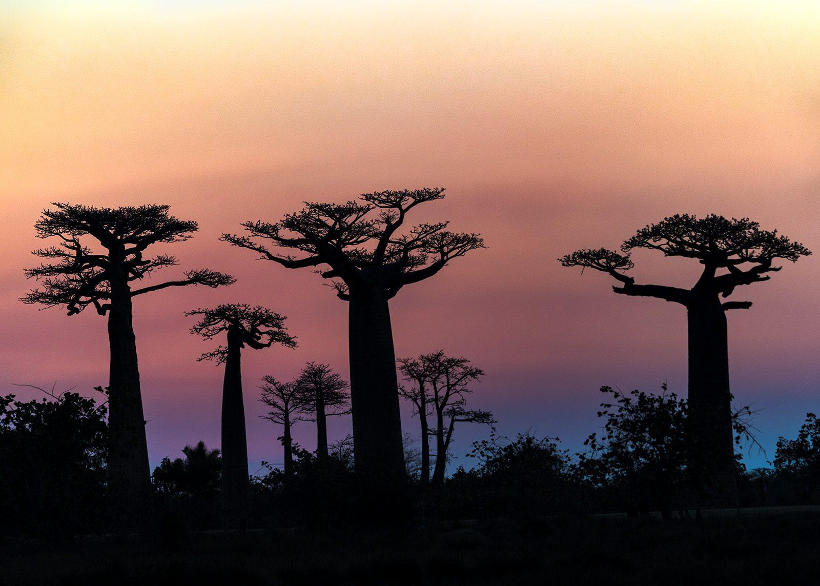 Solnedgang i baobab-avenyen av Kåre Johansen