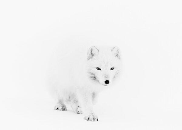 Fjellrev i snøstorm, fotokunst veggbilde / plakat av Kåre Johansen