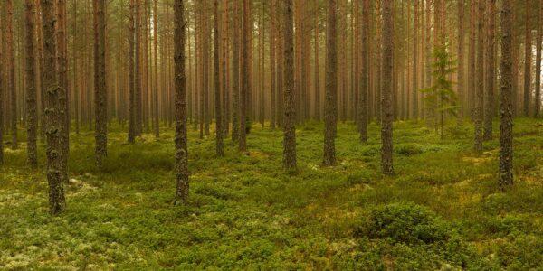 Furuskog, fotokunst veggbilde / plakat av Kåre Johansen