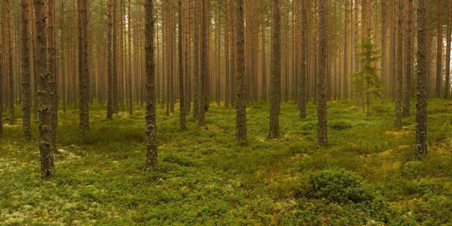 Furuskog av Kåre Johansen
