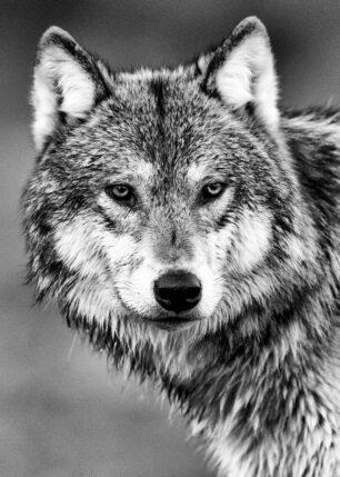 Portrett av ulv., fotokunst veggbilde / plakat av Kåre Johansen