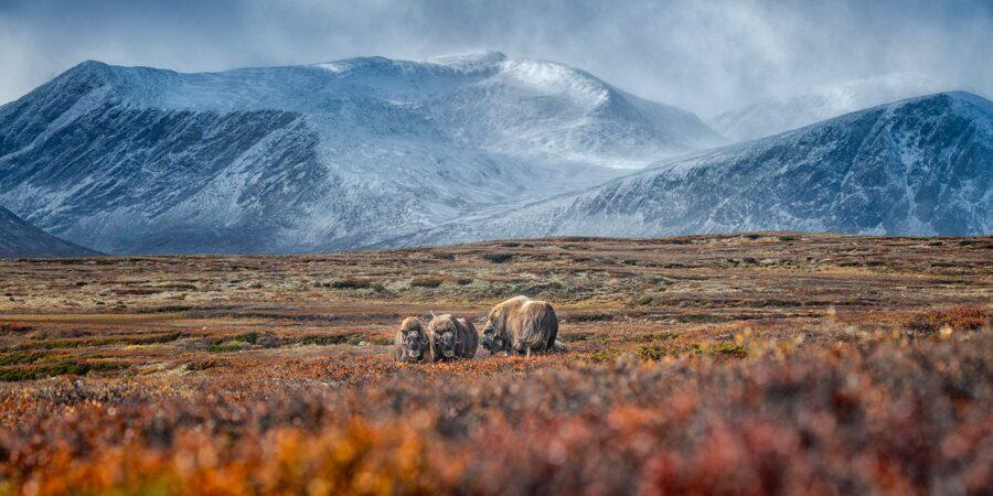 Høst på Dovre av Kåre Johansen