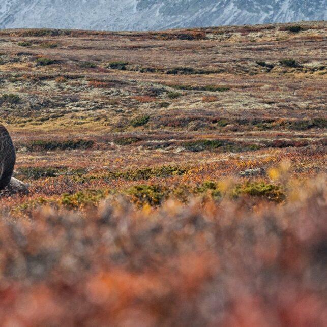 Høst på Dovre, fotokunst veggbilde / plakat av Kåre Johansen