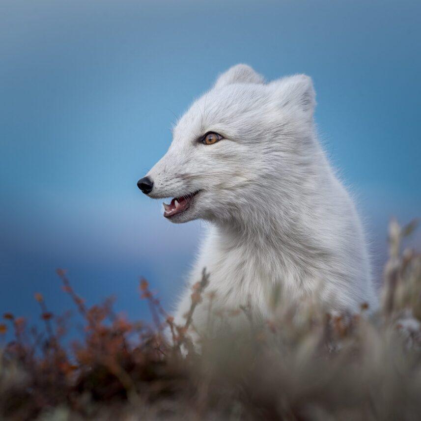Portrett av fjellrev, fotokunst veggbilde / plakat av Kåre Johansen