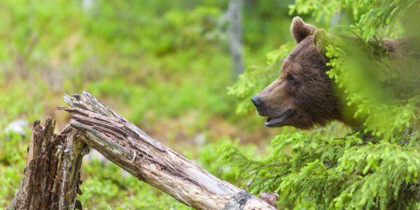 En bjørn mot en morken stubbe, fotokunst veggbilde / plakat av Kjell Erik Moseid