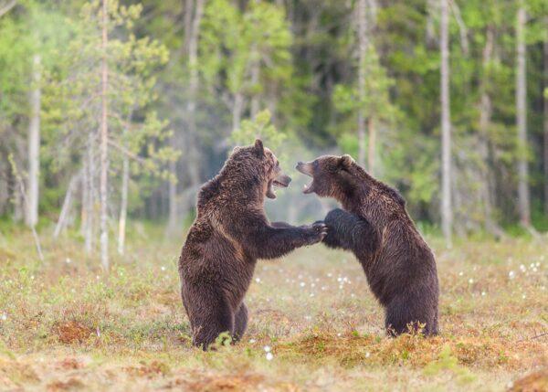 To bjørner sloss på ei myr, fotokunst veggbilde / plakat av Kjell Erik Moseid