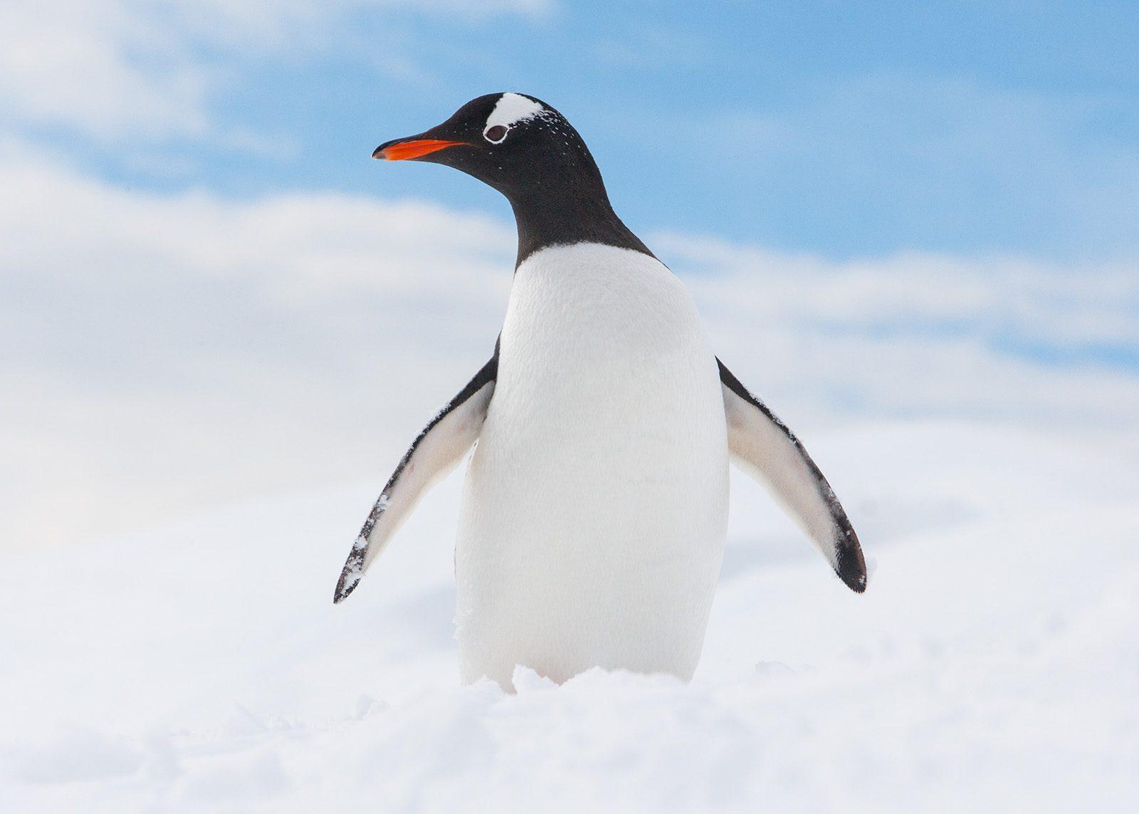 Pingvin i snø av Kjell Erik Moseid