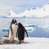 To bøylepingviner viser omsorg for hverandre, fotokunst veggbilde / plakat av Kjell Erik Moseid