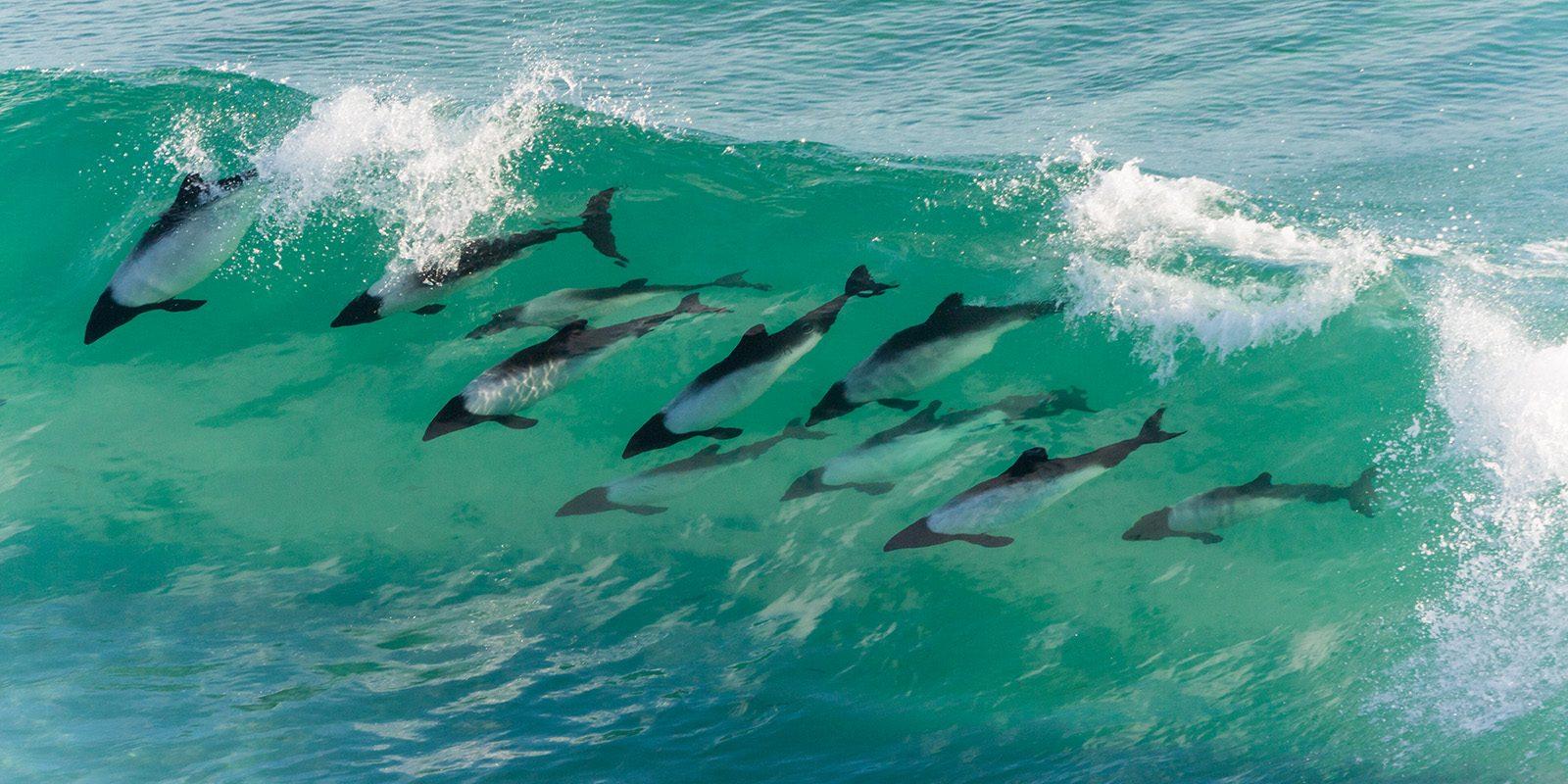 Delfiner inne i ei bølge av Kjell Erik Moseid