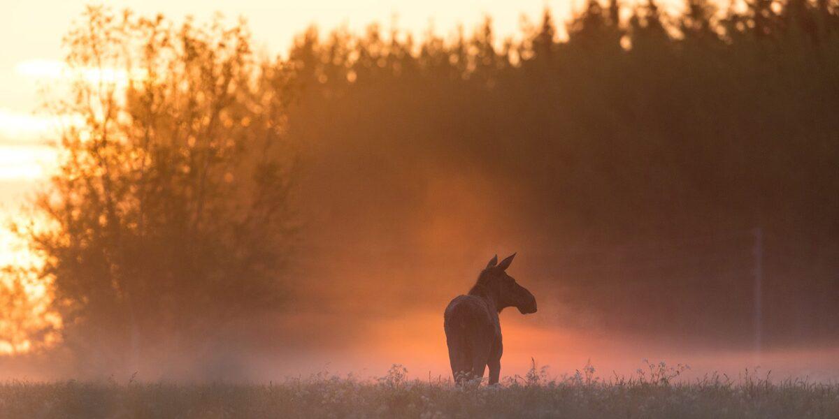 Elg i soloppgang av Kjell Erik Moseid