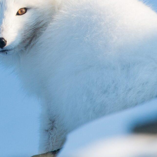 Fjellereven ser dovent inn ikameraet i vinterens siste solstråler, fotokunst veggbilde / plakat av Kjell Erik Moseid