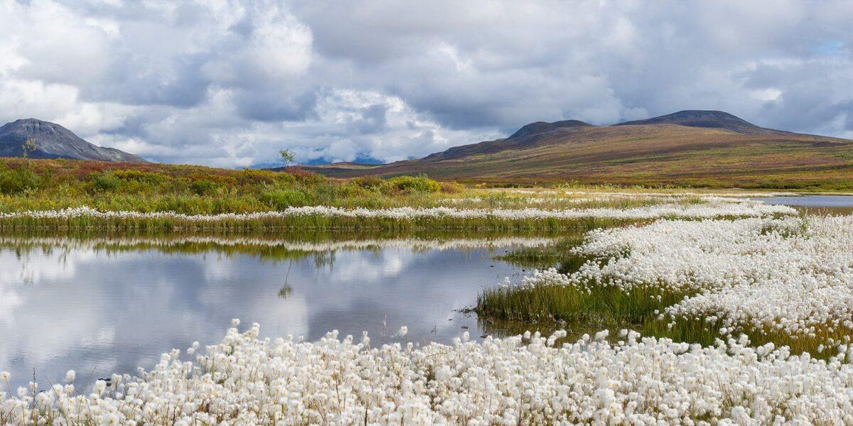 Myrullen blomstrer i Denali., fotokunst veggbilde / plakat av Kjell Erik Moseid