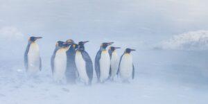 Tre gentoopingviner/bøylepingviner følger med bølgen og springer i land, fotokunst veggbilde / plakat av Kjell Erik Moseid