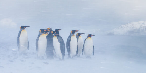 En samling kongepingvin i snøstorm, fotokunst veggbilde / plakat av Kjell Erik Moseid