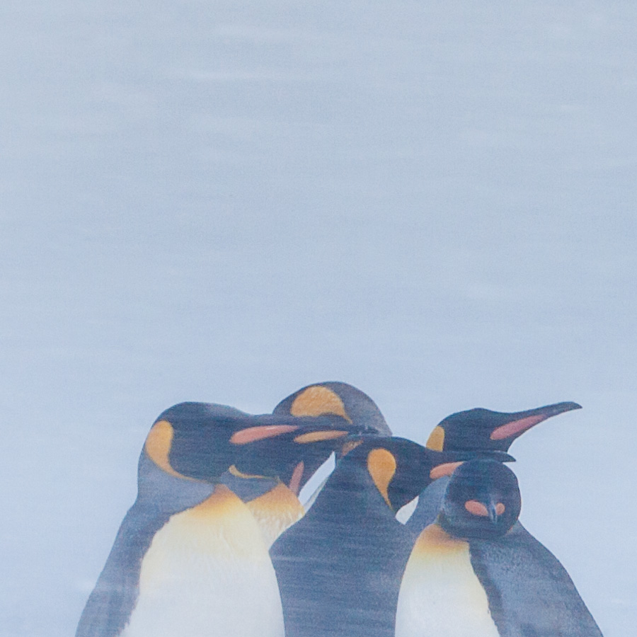 Pingviner i snøstorm av Kjell Erik Moseid