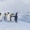 Kongepingviner i snøvær, fotokunst veggbilde / plakat av Kjell Erik Moseid