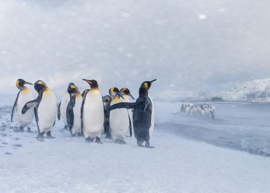 Pingviner i snødrev av Kjell Erik Moseid