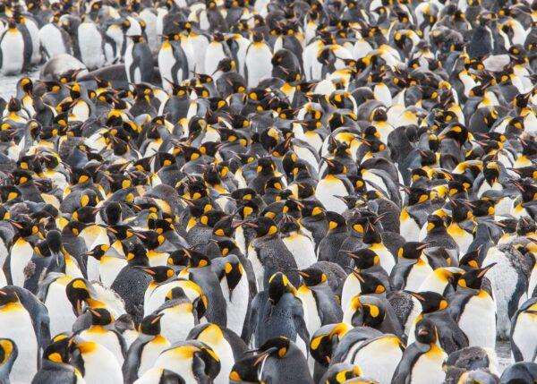 Tett flokk med kongepingviner venter på å dra ut på sjøen, fotokunst veggbilde / plakat av Kjell Erik Moseid