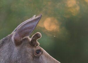 En liten elgokse i blomsterenga mens sola går ned, fotokunst veggbilde / plakat av Kjell Erik Moseid