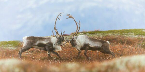 To storbukker sloss i brunsten, fotokunst veggbilde / plakat av Kjell Erik Moseid