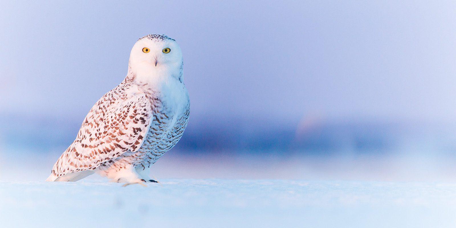 Snøugle av Kjell Erik Moseid
