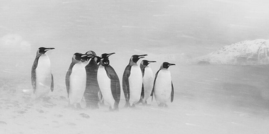 Pingviner i snøstorm svart-hvitt av Kjell Erik Moseid