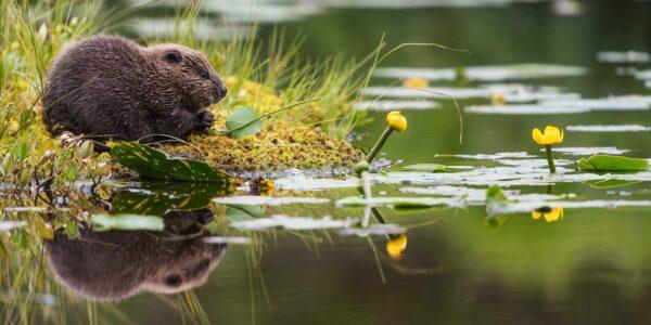 Bever i et lite skogstjern med vannliljer, fotokunst veggbilde / plakat av Kjell Erik Moseid